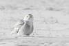 Snowy Owl  (Black and White Color Splash) (Ron Gallagher Photography) Tags: bird birds birding birder birders birdofprey black snowy snow snowyowl snowie snowies arctic arcticowl arcticbird american canada gardenriver