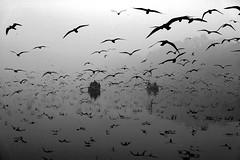 India - New Delhi (luca marella) Tags: india newdelhi yamuna river birds boat water blackwhite biancoenero bw bn bnw reportage documentary travel asia lucamarella photographer holy sacre fog