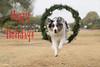 50/52 Happy Holidays (Jasper's Human) Tags: aussie australianshepherd happyholidays merry christmas dog jump