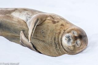 Sweetly sleeping Weddell Seal, Antarctica (Explored)