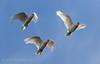 Long-billed Corella (Cacatua tenuirostris) (Jules Farquhar.) Tags: longbilledcorella cacatuatenuirostris cockatoo psittaciformes cacatuidae bird aves western victoria australia wildlife julesfarquhar