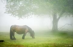 Pottoka entre niebla (Jabi Artaraz) Tags: jabiartaraz jartaraz zb euskoflickr pottoka niebla abedul urkiola paisaje landscape primavera hierba lluvia nature
