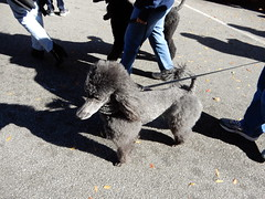 hairdo (Just Back) Tags: fur butt legs style black gray columbia sc dog leashe stylish hubsch schick chic mutt canine leash collar snout hair mammal prissy elegant companion attitude sophisticated resist resisttrump widerstehen