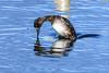 Ducking and diving (Paul Wrights Reserved) Tags: duck waterfowl water diving frozen mirror beak bill bird birding birds birdphotography birdwatching nature naturephotography reflection reflections reflectionphotography