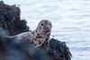 Grey seal_2 (Michael Colwill) Tags: atlantic halichoerusgrypus aquatic basking greyseal mammal mammalia sea