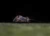 Mesopsocus immunis (markhortonphotography) Tags: fittrail markhortonphotography nature insect mesopsocusimmunis barkfly surrey psocoptera wildlife thatmacroguy surreyheath fitnessequipment macro frimleygreen psocid frimleylodgepark invertebrate