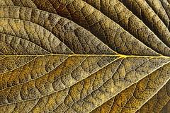 Gold texture (lucamarasca1) Tags: nikkor50mm14 nikkorlens oro monocrome dettaglio natura nature laquintaessenza closeup macro detals color colorful leaves trama texture gold d5500 50mm14 nikkor nikon