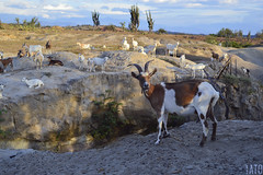 Cabra / Goat / Chèvre (Tato Avila) Tags: colombia colores cálido cielos campo huila cabra desierto desiertodelatatacoa animal retrato miradas naturaleza nikon nubes