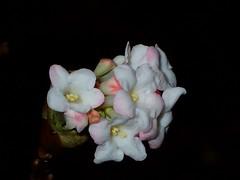 Little Beauty in the dark (libra1054) Tags: viburnumfarreri duftschneeball boladenieve beauty bellezza beleza beautê belleza schönheit weiss white bianco blanco blanc branco macro blossoms blüten flores fiori fleurs flora