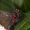 Parides Iphidamas (Ouwesok) Tags: canoneos30d tamron2890mm sigmaem140dg vlinder insect vlindertuin burgersmangrove paridesiphidamas roodgestiptepage