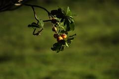 guapeva (Pouteria torta) (0371) (Jorge Belim) Tags: canoneos7d 70200 flora