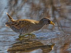 Sora Surprise (Beth Sargent) Tags: sora bird water lake reeds habitat nature wildlife