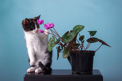 IMG_2976-2_пустое (bbaffometi) Tags: cat animal stillife cute blue flower postcard pet