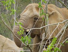 San Diego Zoo - Elephant (etacar11) Tags: sandiegozoo sandiego california zoos africanelephant elephants loxodontaafricana