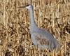 Sandhill Heaven (Feathered Trail Photos) Tags: crane sandhillcrane mynj somerset jerseybirds