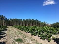 "GWD Forestry eucalyptus Brazil <a style=""margin-left:10px; font-size:0.8em;"" href=""http://www.flickr.com/photos/47172958@N02/39434073941/"" target=""_blank"">@flickr</a>"