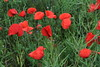 COQUELICOTS (claudine.cribier25) Tags: coquelicots