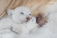 DSC_1164-1 (Linda Smit Wildlife Impressions) Tags: african white lion lioness lioncubs cubs wildlife endangered cats bigcats nature animal carnivore cecil photography nikon d750 big cat mammal zoo damnéville amnéville