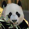 giant panda Ouwehands BB2A3556 (j.a.kok) Tags: panda giantpanda grotepanda bamboebeer bamboobear beer bear ouwehands animal china asia azie mammal zoogdier dier