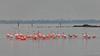 Flamingo (Phoenicopteridae) (BraCom (Bram)) Tags: 169 battenoord bracom bramvanbroekhoven flamingo goereeoverflakkee grevelingen nederland netherlands phoenicopteridae southholland zuidholland birds ducks eenden lake landscape landschap meer morning nature natuur ochtend palen poles silhouetten silhouettes sky vogels water widescreen nieuwetonge nl saariysqualitypictures