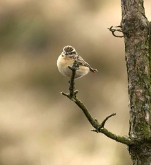 Perched Whinchat (Jaedde & Sis) Tags: bynkefugl isenbjerg saxicolarubetra whinchat perched denmark branch female unanimous challengefactorywinner thechallengefactory