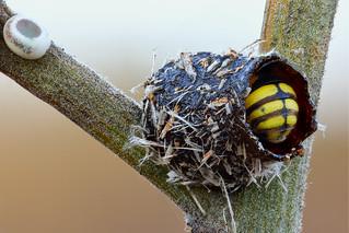 Anthidiellum strigatum working in its nest