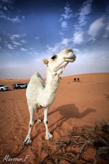 Camel (Mansour Al-Fayez) Tags: trip sand desert camel canon photo photography national caono wonderful amazing ksa saudiarabia saudi life lovely الدهناء السعودية الرياض القصيم المملكة كانون كاميرا صوره صحراء صحاري نفود رحله كشته