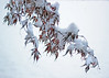 Overlap (tmattioni) Tags: snow japanesemaple autumn