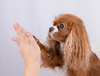 High five! (asahele) Tags: cavalier king charles spaniel hund high five hand