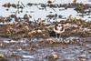 Common Ringed Plover (steve happ) Tags: charadriushiaticula commonringedplover egypt luxor nileriver