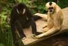 White-Cheeked Gibbon and Friend (kap78) Tags: melbournezoo 2017 whitecheekedgibbon