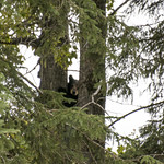 Black Bears, Cub, Waskesiu Lake, Prince Albert National Park thumbnail