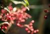 南天 (23fumi@fuyunofumi) Tags: ilce7rm3 sony 55mm aimicronikkor55mmf28s plant nandina manualfocus nikon 植物 南天 a7r3 nature macro