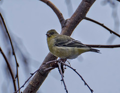 Lesser Goldfinch (Spinus psaltria), female type