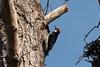 DSC_1009.jpg Acorn Woodpecker, Twin Lakes (ldjaffe) Tags: twinlakes