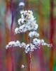 17-12-25 nah blü weiss vert text kerz  dsc09033-1 (u ki11 ulrich kracke) Tags: blüteweiss bokeh gras kerze nah ähre 7dwf