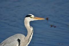 Grey Heron 蒼鷺 (Jeffreycfy) Tags: birds birding nature wildlife animals nikon d500 nikkor200500mmf56e tc14eiii ardeidae ardeacinerea herons greyheron 鷺科 蒼鷺