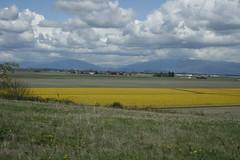 april9ththru16th 021 (condor avenue) Tags: april9ththru16th skagit skagitcounty tulipfestival daffodilfields tulipfields washington daffodils