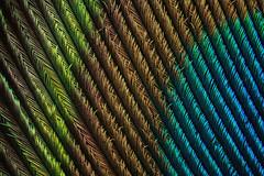 Peacock Feather (5) (Can Tunçer) Tags: can cantunçer cantuncer canon canon6d closer macro makro macros macrophotography micro mikro makros microscope microscop mitutoyo mitu5x lomo lomo37 lomo37x tunçer turkey turkiye türkiye tuncer texture izmir ikea jansjö jansö peacock feather