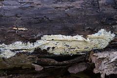 Õrn narmnahkis; Dentipellis fragilis; turkkiorakas (urmas ojango) Tags: seened fungi russulales pilvikulaadsed hericiaceae korallnarmikulised dentipellis narmnahkis turkkiorakas õrnnarmnahkis dentipellisfragilis
