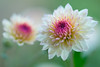 chrysanthemum 6095 (junjiaoyama) Tags: japan flower chrysanthemum mum white pink bokeh winter macro