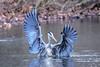 Hands up (Paul Wrights Reserved) Tags: heron wings wing beak closeup bokeh water lake wingspan wingtips landing birdwatching bird birding birdphotography beautiful nature naturephotography