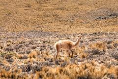 Vicuña argentina (julien.ginefri) Tags: argentina argentine america andes cordillera latinamerica mountain southamerica quebrada humahuaca vicuña