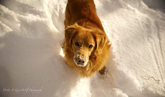 Nova Scotia Duck Toller (D & E Grey Wolf Photography) Tags: dog canine funinwinter