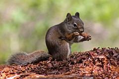Ecureuil gourmand (Tiffani Pozzi) Tags: ecureuil squirrel usa grandteton animal wildlife nature