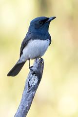 Leaden Flycatcher (Myiagra rubecula) (Ian Colley Photography) Tags: canoneos7dmarkii bird leadenflycatcher myiagrarubecula bingara ef500mmf4lisusm