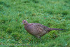 Female Pheasant (Gale's Photographs) Tags: pheasant female bird newportwetlands photoingwithfriends