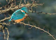 Kingfisher - Alcedo atthis (Gary Faulkner's wildlife photography) Tags: kingfisher alcedoatthis