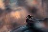 The tiny hunter (Fab. B) Tags: araignée saltique spider jumpingspider bokeh light backlight macro nature canon 7d sigma 180 fabienbravin lumière