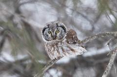 Boreal Owl (Laura Erickson) Tags: stlouiscounty hartleynaturecenter strigiformes strigidae birds duluth borealowl species places minnesota aegoliusfunereus